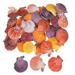 Цветни миди - pecten nobilis - от 3 до 5.5см - 10бр.