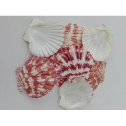 Миди с розово - червени краски  - flat scalop shell - 3-5см - 5бр.