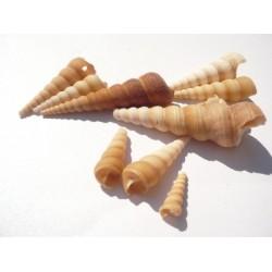 Рапани - turritella terebra - 3.8 х 6.3см - 10бр.