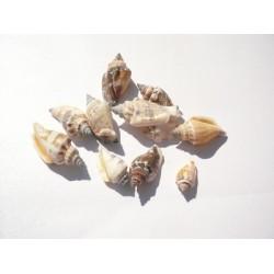 Рапани - strombus variabilis - 3.5 -5см - 10бр.
